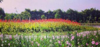 Cantiknya Taman Sakura di Surabaya
