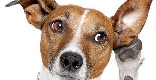 Share Pengalaman Waktu Anjing Kesayangan Terkena Infeksi Telinga