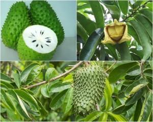 tumbuhan sirsak
