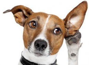 infeksi pada kuping anjing